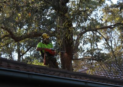Tree Cutting Company Arborists Dural