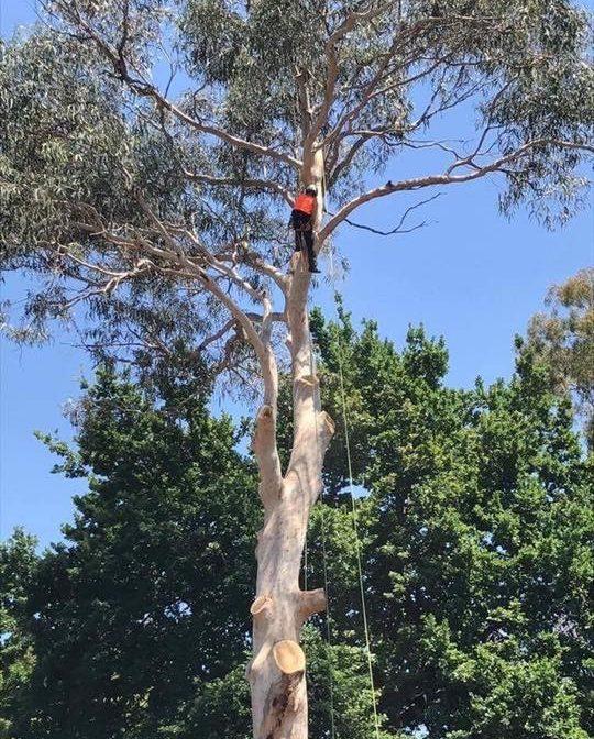 tree pruning sydney north shore